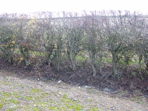 Hedge thin at base               but well trimmed and ideal for laying