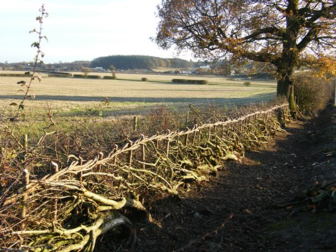 Contrast between laid              hedge and unlaid section beyond