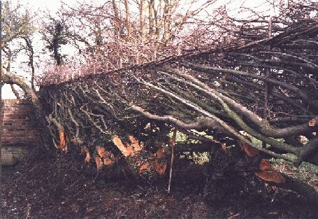 Midland style hedge at Northall,         winter 1997-98