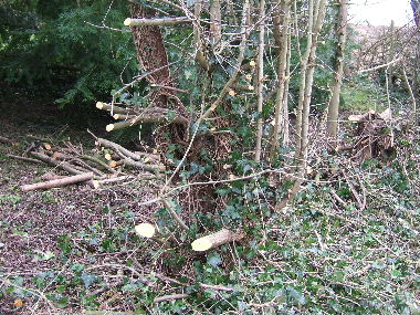 Hedge laid too high last time leaving challenging stumps to work with