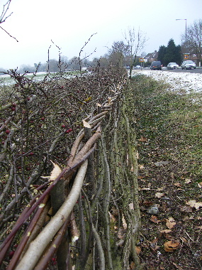 Detail showing binding, staking, clean roadside and bushy fieldside of hedge