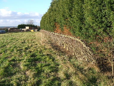 General view of hedge after laying