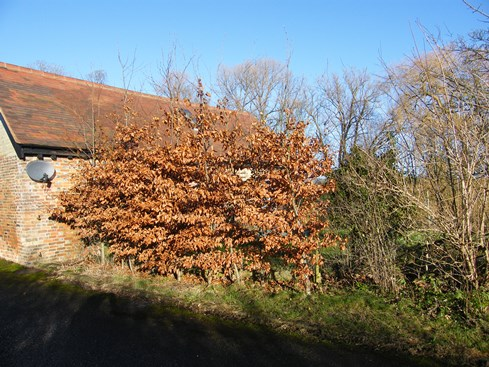 Short section of              beech to be tied into previously laid hedge