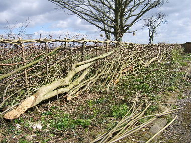 Hedge by drive after laying