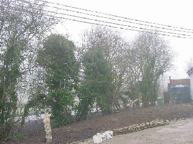 View from drive before laying.  Tall gappy hawthorn with plenty of ivy.