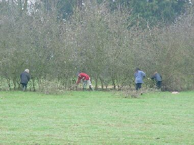 Redfield volunteers start preparing this 9 year old hedge which is perfect for laying