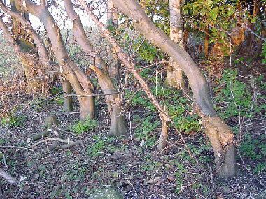 Hornbeam stems cut part way through, too high and bent to the left