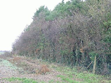 Hawthorn section with side cleared off