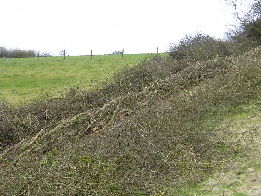 Completed              section of hedge
