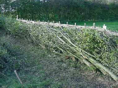 Very fine South of England Open Class hedge