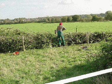 Knocking in the crooks on a Somerset hedge