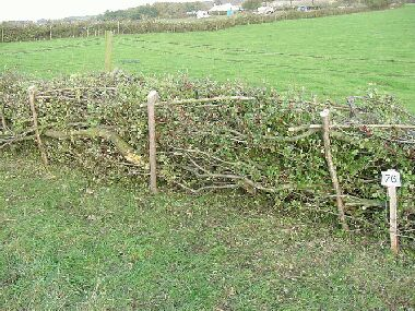 Somerset hedge showing diagonal rods securing top of hedge