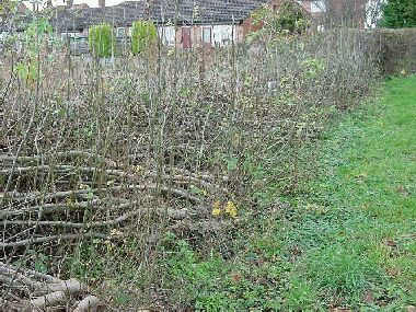 Soulbury Millennium Green hedge sporting one years regrowth