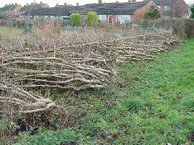 Soulbury Millennium Green hedge after hand trimming