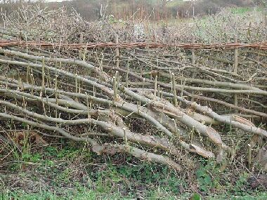 Each trimmed shoot should produce two new shoots next season thickening hedge