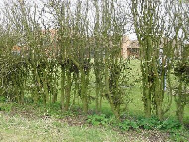 Dense single row hawthorn has not been laid before but has been machine cut at 3 ft and latterly topped