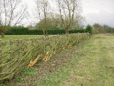 Other side of hedge has same appearance on a South of England hedge