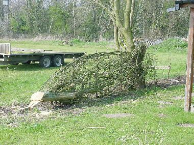 Making an 8ft length of hedge from a single hawthorn - hey presto!
