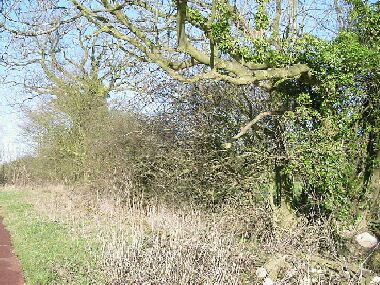 The large ash tree on the right is the same tree on the right in the adjacent picture