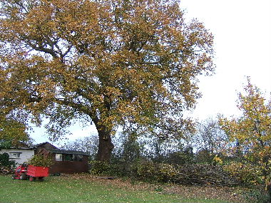 One of two fine oak revealed by a combination of limbing up and laying the hedge