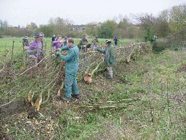 View from ditch side nearing completion.  This hedge was laid in a day by a dozen volunteers.