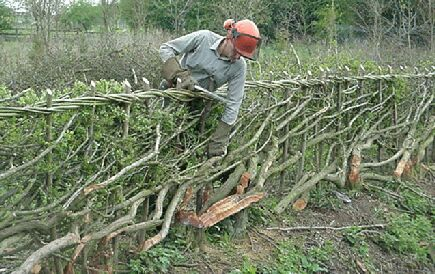The author laying a                   Midland style hedge at Watergate Farm, Beds, April                   2000