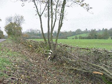 General view of finished hedge with selected hawthorn, plum and sycamore left as trees
