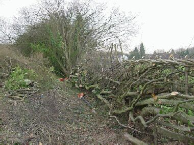 No shortage of material to work with in this overgrown hazel hedge!