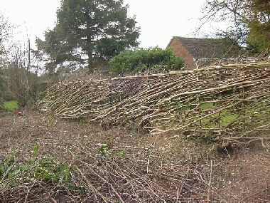 Short section of hazel hedge laid Midland style