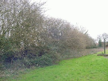Hedge is as wide as it is tall!